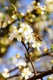 Recogida del polen Imagenes de archivo