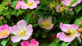 Recogida del polen mientras que vuelo sobre escaramujo florecido metrajes