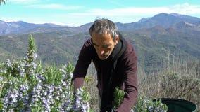 Recogida del romero en las montañas almacen de video