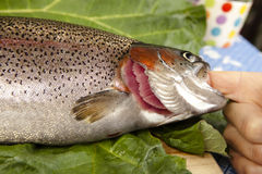 Recognize fresh trout. To the gills, close up, cut a raw rainbow trout, blurred background Stock Photo
