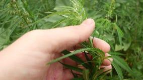 Recoja el cáñamo Comprobación de las hojas y de los conos del cáñamo medicinal almacen de metraje de vídeo