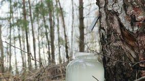 Recoja el jugo del abedul en el bosque que la bebida gotea en un tarro de cristal almacen de metraje de vídeo