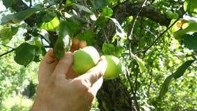Recoja la cosecha de las manos de las manzanas metrajes