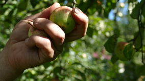 Recoja la cosecha de las manos de las manzanas almacen de metraje de vídeo