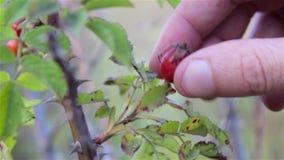 Recoja la cosecha del escaramujo de las manos metrajes