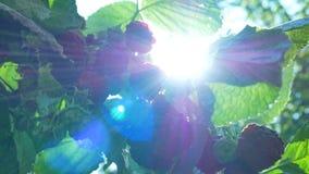 Recoja las bayas de un arbusto de frambuesas metrajes
