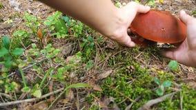 Recoja las setas Un mushroomer se acerca a la seta y a los rasgones del boleto él abajo Bosque del álamo temblón de la seta en ot almacen de metraje de vídeo