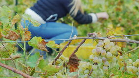 Recoja las uvas en el racimo del primero plano de uvas, en el fondo que una mujer recoge las uvas blancas almacen de metraje de vídeo