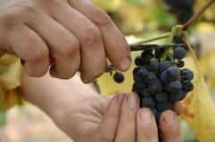 Recolección manual de las uvas del pinot negro a mano Imágenes de archivo libres de regalías