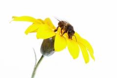 Recolectando polen royalty-vrije stock afbeeldingen