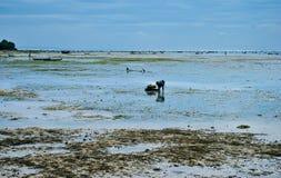 Recolhendo a alga nas plantações da alga perto da praia Imagem de Stock