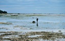 Recolhendo a alga nas plantações da alga perto da praia Fotos de Stock