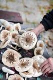 Recolhendo cogumelos comestíveis no selvagem, guloseima do cogumelo de parasol Fotografia de Stock