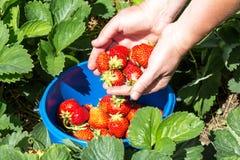 Recolhendo morangos doces na plantação fotos de stock