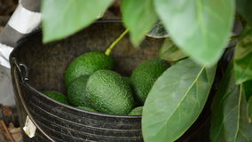 Recolhendo o fruto de abacates video estoque