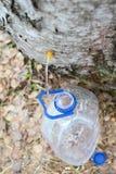 Recolhendo o suco da árvore de vidoeiro Fotos de Stock