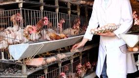 Recolhendo ovos na exploração agrícola de galinha video estoque
