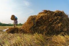 Recolhendo a palha do arroz Fotografia de Stock Royalty Free