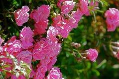 Recolhendo Rose Nectar foto de stock royalty free