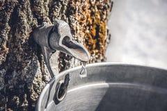 Recolhendo a seiva de uma árvore para produzir o xarope de bordo fotografia de stock royalty free