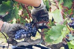 recolhendo uvas Fotografia de Stock Royalty Free