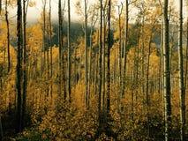 Recolhimento de Aspen Trees amarelo na queda fotos de stock royalty free