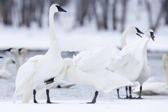 Recolhimento de cisnes de trompetista Fotografia de Stock Royalty Free