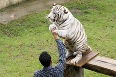 Recompensa del instructor su tigre blanco, parque zoológico septentrional de Tailandia Imagenes de archivo