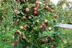 A recompensa do ` s da natureza é evidente em árvores de maçã com os ramos carregado que levam o fruto maduro imagens de stock royalty free