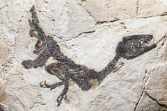 Reconstrucción del fósil del samniticus de Scipionyx Imagen de archivo libre de regalías