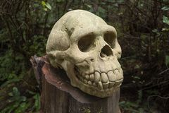Skull of a Tofino man in the Tofino Botanical Gardens royalty free stock image