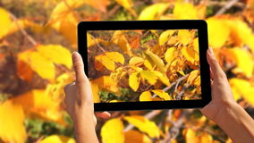 Recording Autumn leaves in the wind stock footage