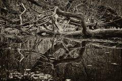 Dead tree - sepia tint royalty free stock image