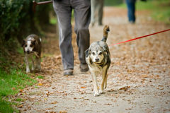Recorriendo el perro Foto de archivo libre de regalías