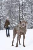 Recorriendo un perro fotografía de archivo