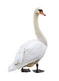 Recorte blanco del cisne mudo Fotografía de archivo libre de regalías