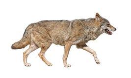 Recorte corriente del lobo Foto de archivo
