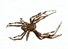 Recorte de la araña de Brown fotografía de archivo libre de regalías