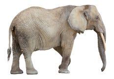 Recorte del elefante africano Fotografía de archivo libre de regalías
