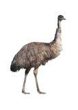 Recorte del Emu Imagenes de archivo