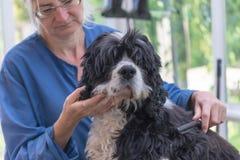 Recorte del perro americano de Cocker Spaniel fotografía de archivo libre de regalías
