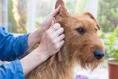 Recorte del primer del perro de Terrier irlandés foto de archivo