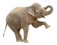 Recorte femenino del saludo del elefante indio Fotografía de archivo libre de regalías