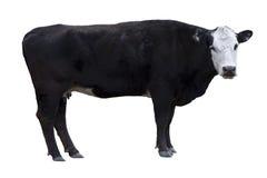Recorte negro de la vaca Fotos de archivo libres de regalías