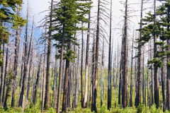 Recovering Burnt Forrest. A forrest showing scaring from a fire while new growth takes hold along the forest floor royalty free stock image
