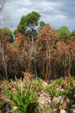 Recovery. The Australian bush has remarkable powers of recovery after a bushfire Royalty Free Stock Images