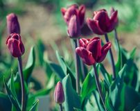 Recreado the black triumph of the tulip variety Stock Images