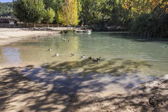 Recreation area on the River Jucar,Some ducks swim in the water, Stock Photo