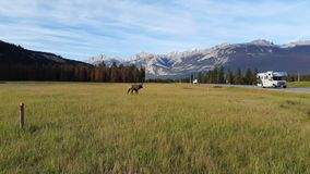 Moose and RV royalty free stock photography