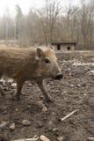 Recruta novo do youngen do porco feroz do varrão na exploração agrícola orgânica das trocas de carícias foto de stock